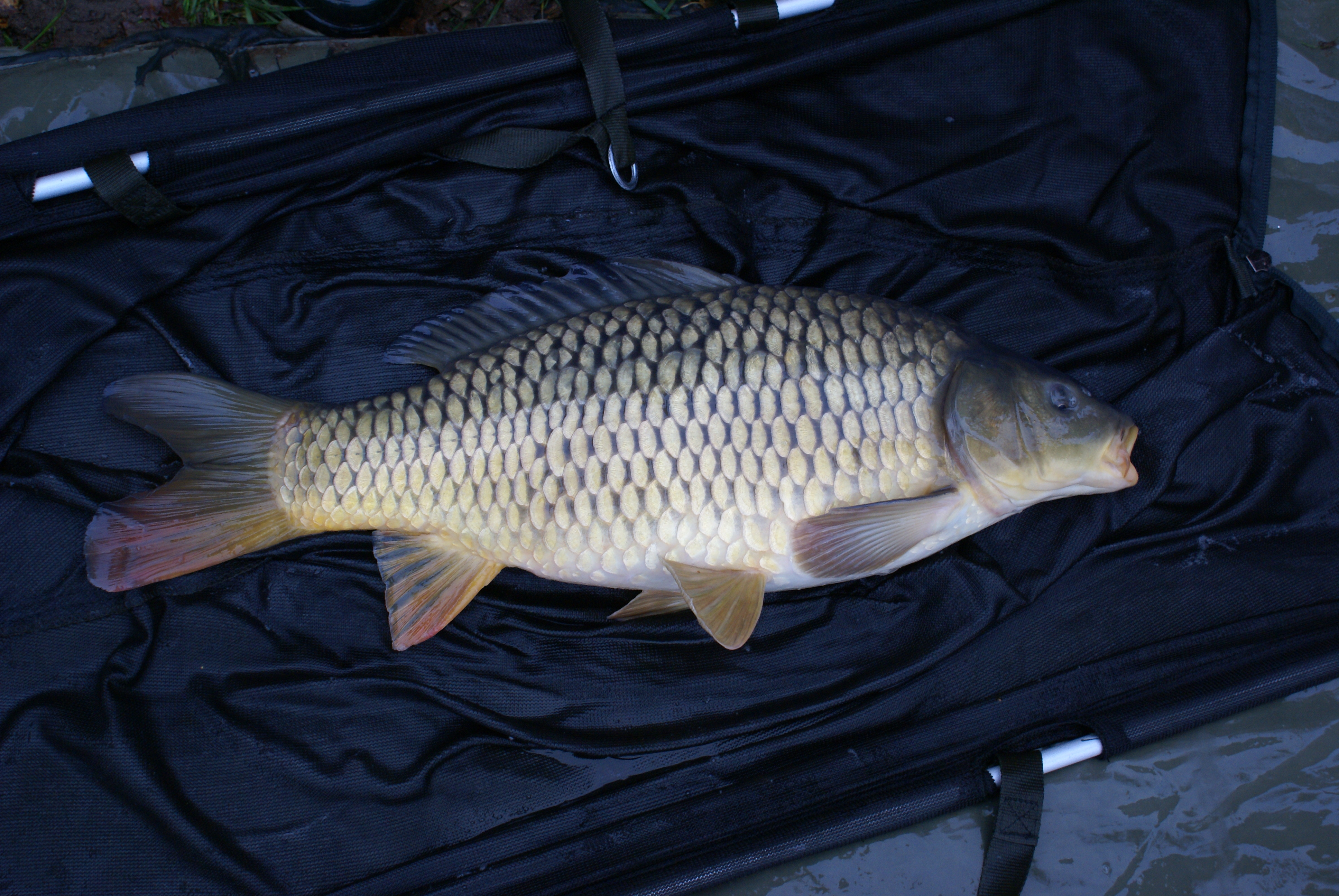 New carp introduced to the carp pond ravenfield ponds for Carp pond design